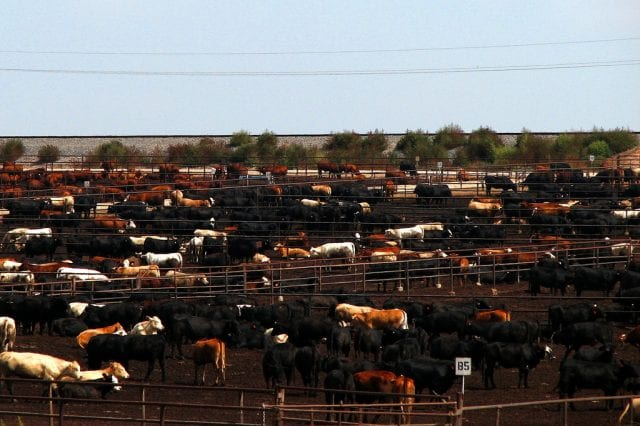 A vast number of cattle penned in together in Texas.