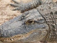 Image of an alligator