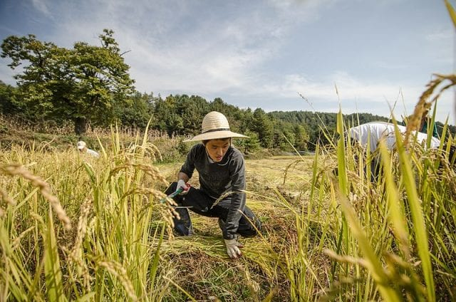 Production still from the film Final Straw, Food, Earth, Happiness shows rice harvesting on a natural farm