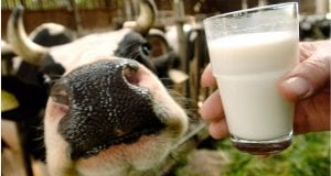 Image of a Glass of Raw Milk and a Cow