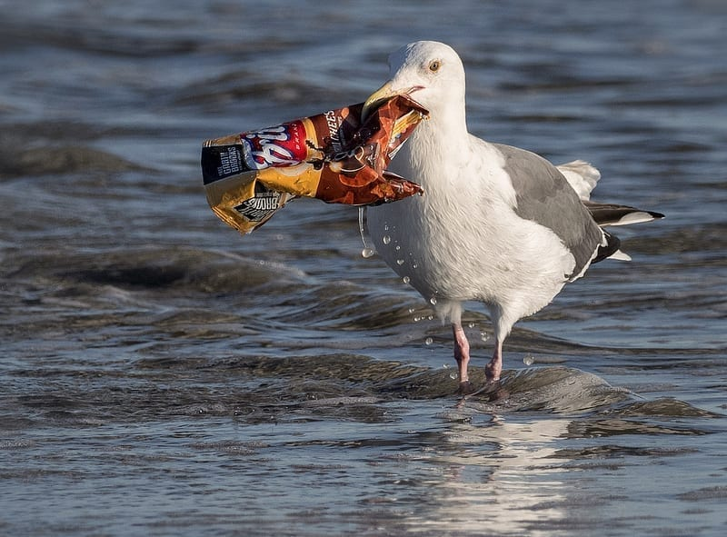 A seagull, standing in shallow water, holding an empty, discarded Fritos chip bag.