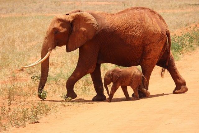 Indian elephant with calf; image courtesy Pxhere.com, CC0.