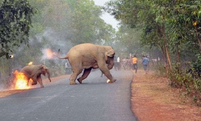 A mother elephant tries to lead her burning calf away from humans.