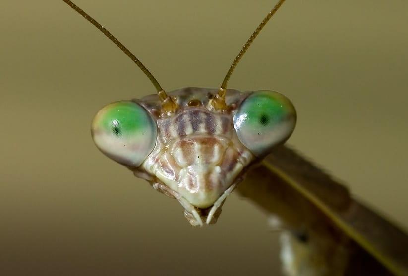 Close up image of a praying mantis face peering at the camera.