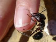 Ant biting a finger; CC Image courtesy of John Tan on Flickr.