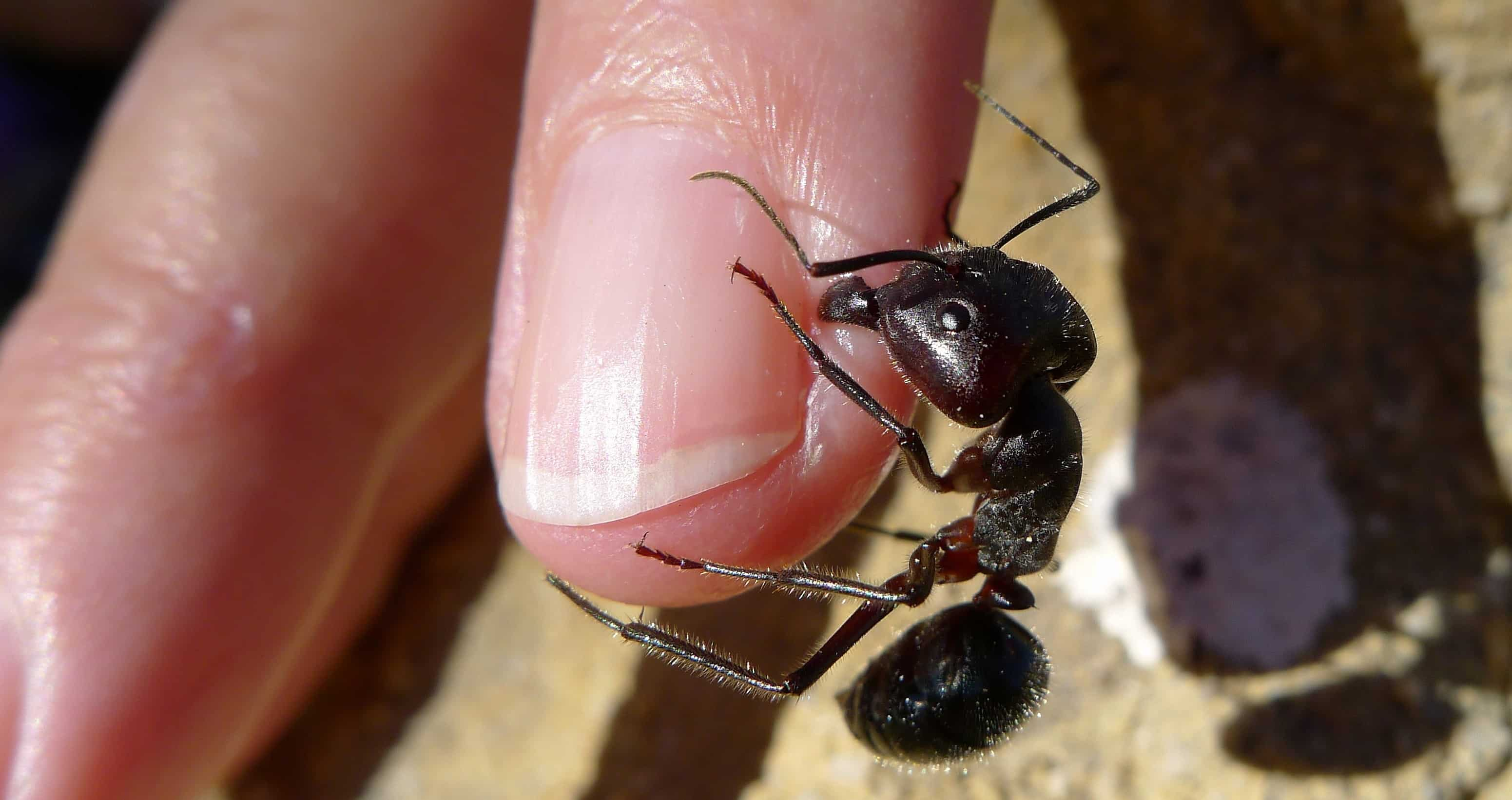 Ant biting a finger; CC Image courtesy of John Tan on Flickr.