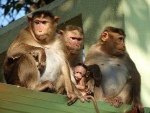 Monkeys; image courtesy of Aalokmjoshi, via Wikimedia Commons CC BY-SA 4.0, no changes made.