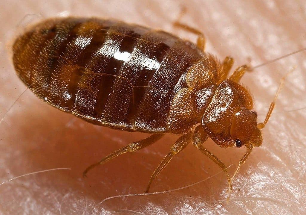 Image of a Bedbug