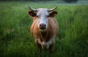 A horned, brown bovine stands in a field of lush green grass.