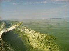Intensely green waves of algae-rich lake water wash ashore.