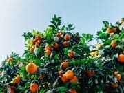 Image of citrus trees