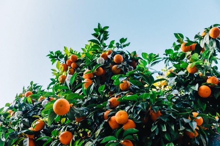 Image of citrus trees