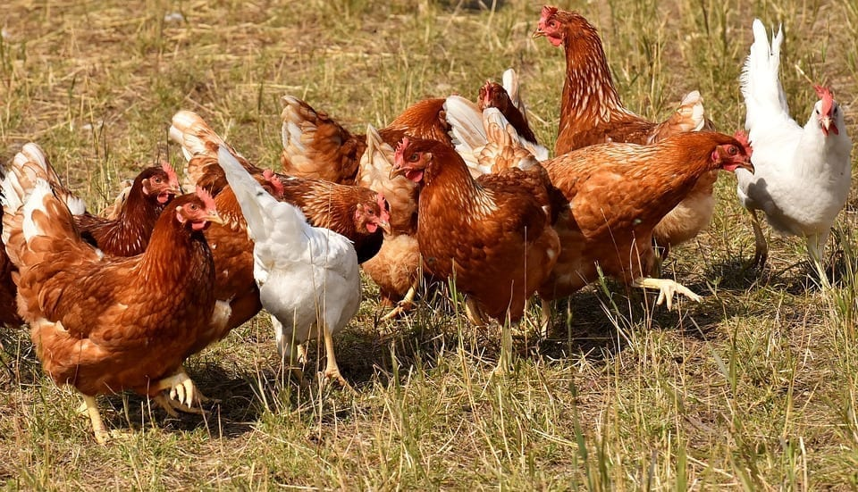 Image of hens on a poultry farm