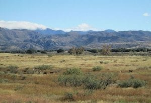Mule deer wander through scrubby desert country with mountains in the background.