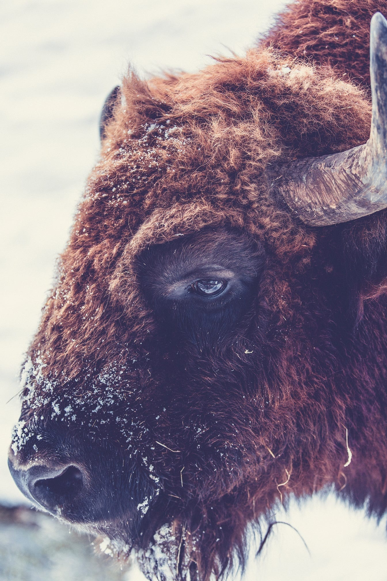 Man Arrested After Being Caught on Camera Harassing Bison