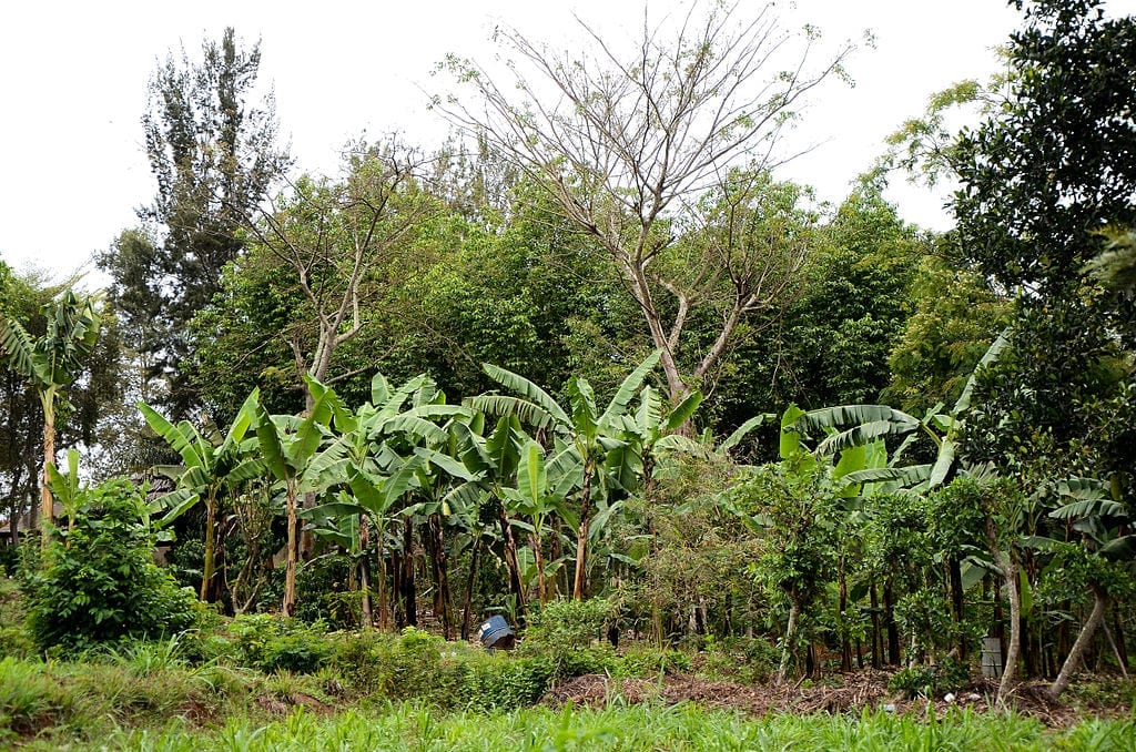 A small human figure can be seen amongst lush growth of banana and other useful trees grown in a forest setting.
