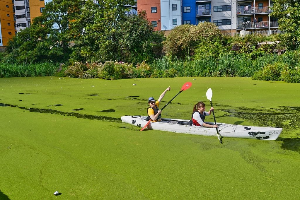 A man and a woman paddle a canoe through water choked with green algae.