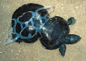 A turtle cinched at mid-shell by a too-tight plastic six-pack ring.