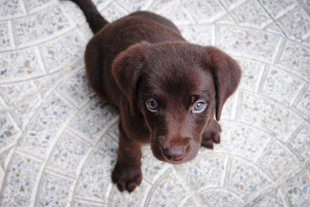 Image of a Brown Lab Puppy
