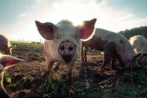 Hog Waste Still an Issue in North Carolina after Decades