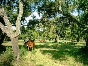 A brown bovine grazes lush green grass between mature trees.