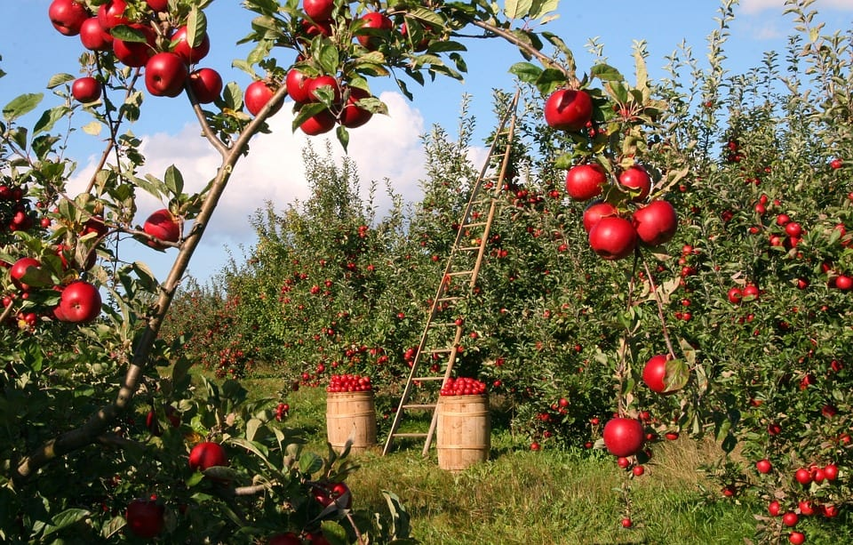 An orchard of bright red apples (Malus pumila), both on trees and stacked in barrels.