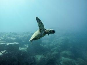 Sea turtle underwater; image by Jeremy Bishop, via unsplash.com.