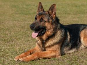 A German Shepherd; image by Adam Kontor, via Pexels.com.