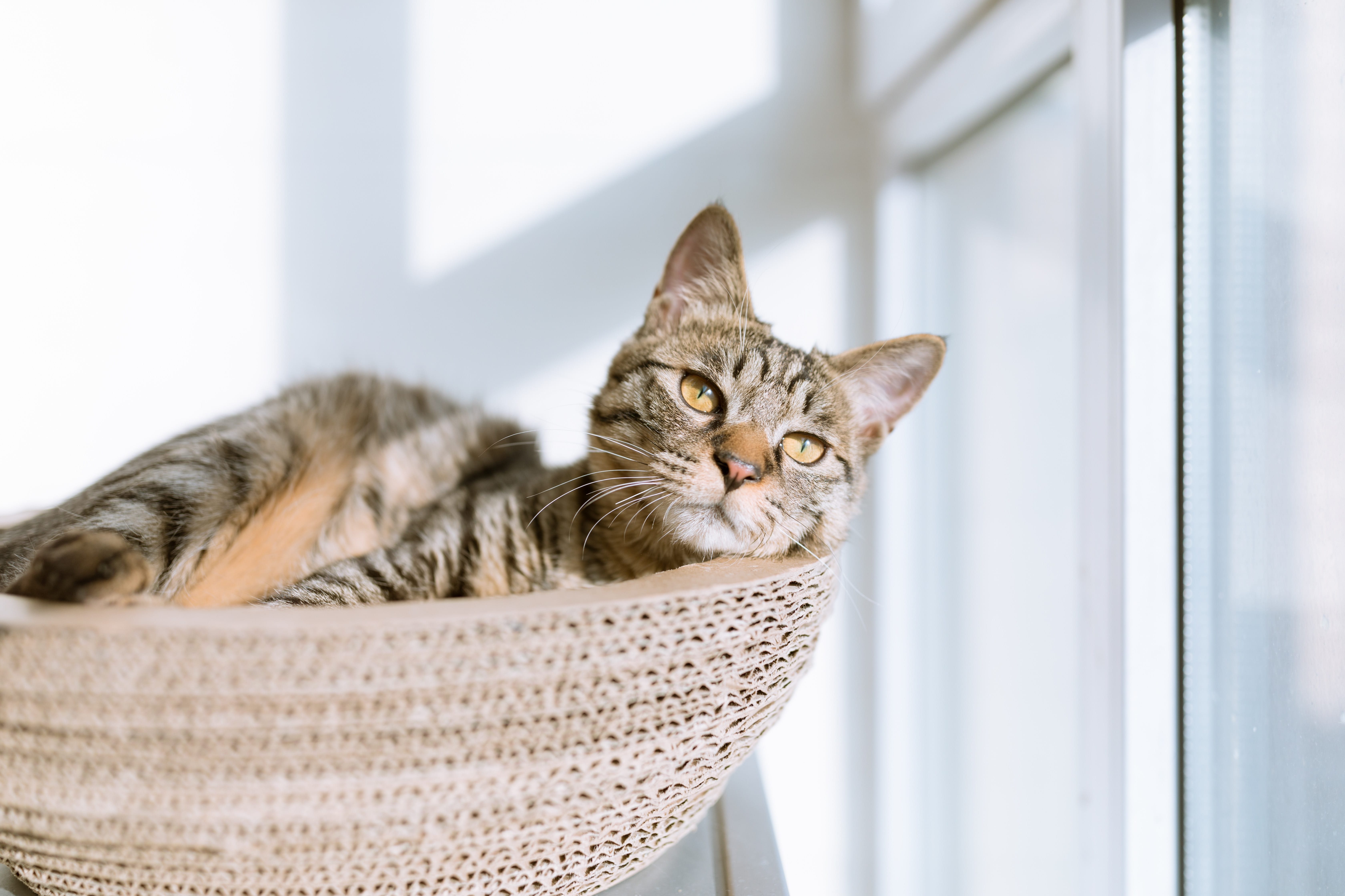 Silver tabby cat on gray pillow beside clear glass window; image by Eric Han, via Unsplash.com.