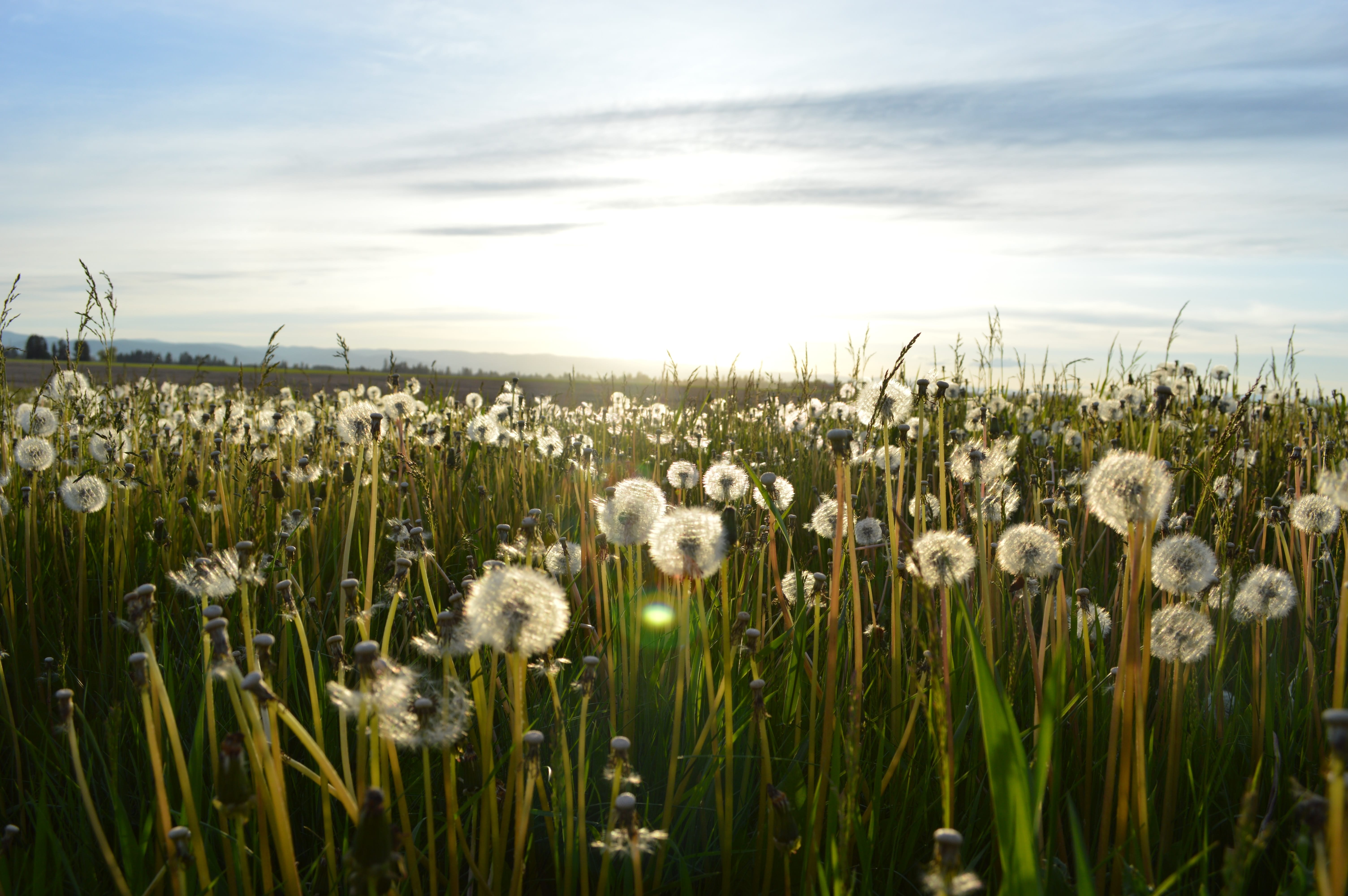 Field of dandelions gone to seed; image by Jason Long, via Unsplash.com.