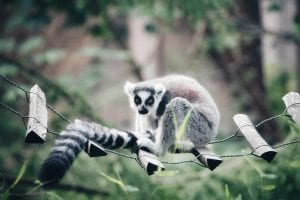 Stealing Jewelry, a Lemur, a Tortoise Will Get Anyone Caught