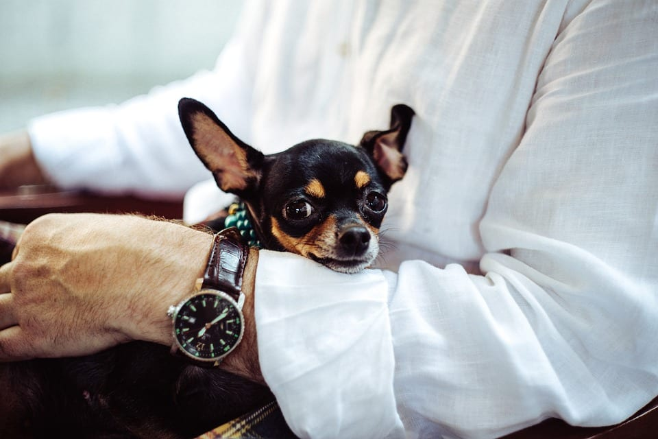 Owner holding a chihuahua