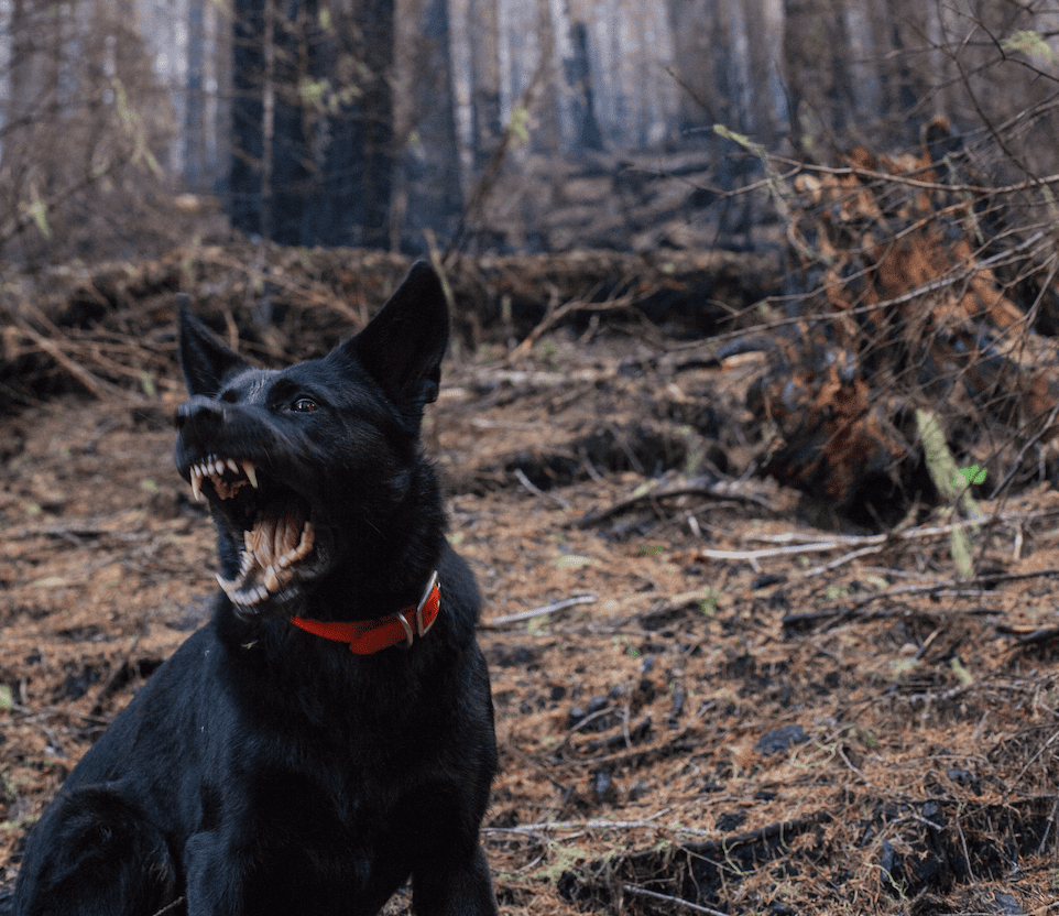 Black dog barking in forest with fangs bared; image by Nick Bolton, via Unsplash.com.