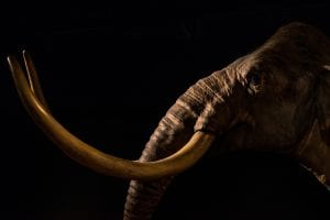 Humans Hunted Wholly Mammoths, Researchers Discover