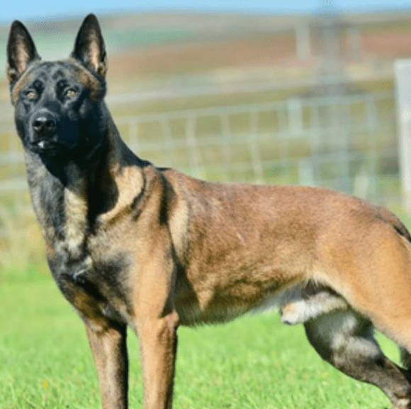 Protection dog Duco; image courtesy of author.