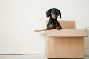 Black and brown Dachshund standing in box; image by Erda Estremera, via Unsplash.com.