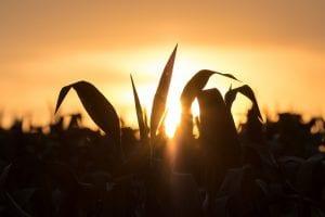 Corn stalks in silhouette against an orange sky.