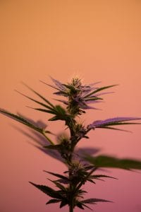 Selective focus photography of cannabis sativa plant; image by Robert Nelson, via Unsplash.com.