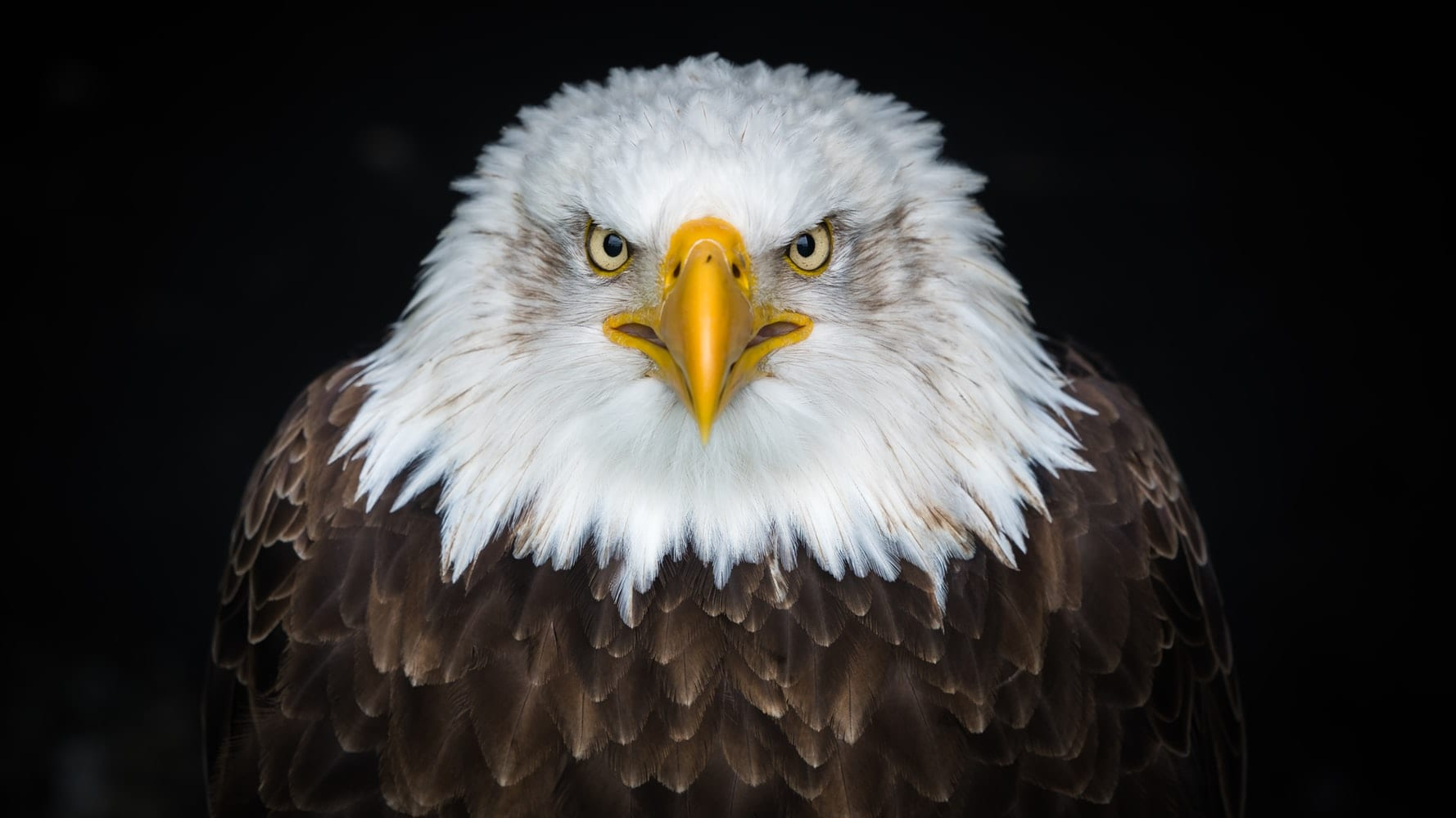 A bald eagle facing the camera, with a dark background.