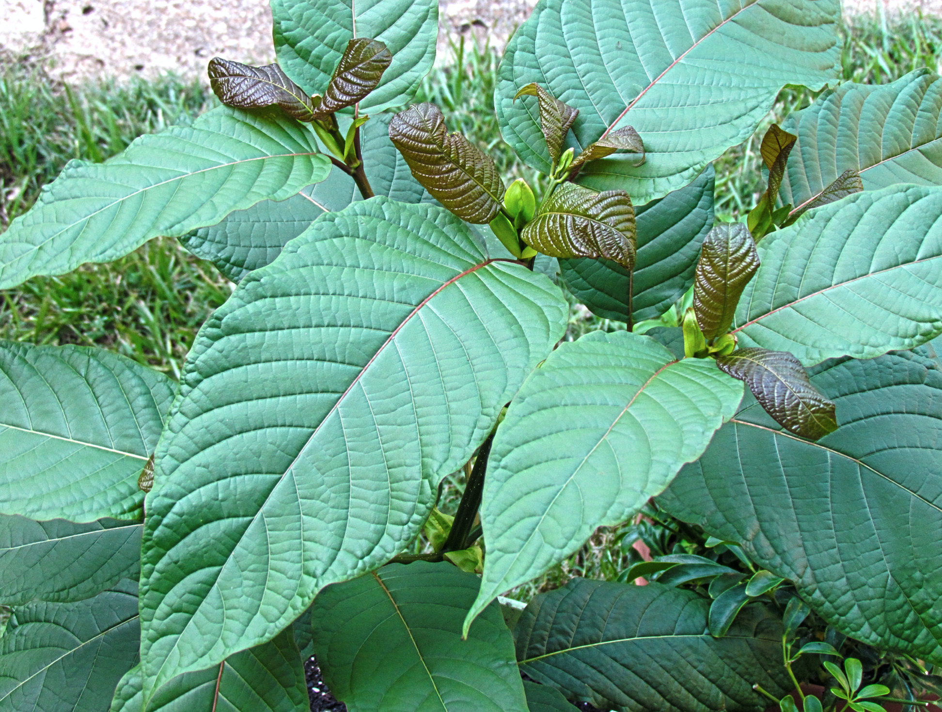 Kratom plant; image by ThorPorre, via Wikimedia Commons, CC BY 3.0, no changes.