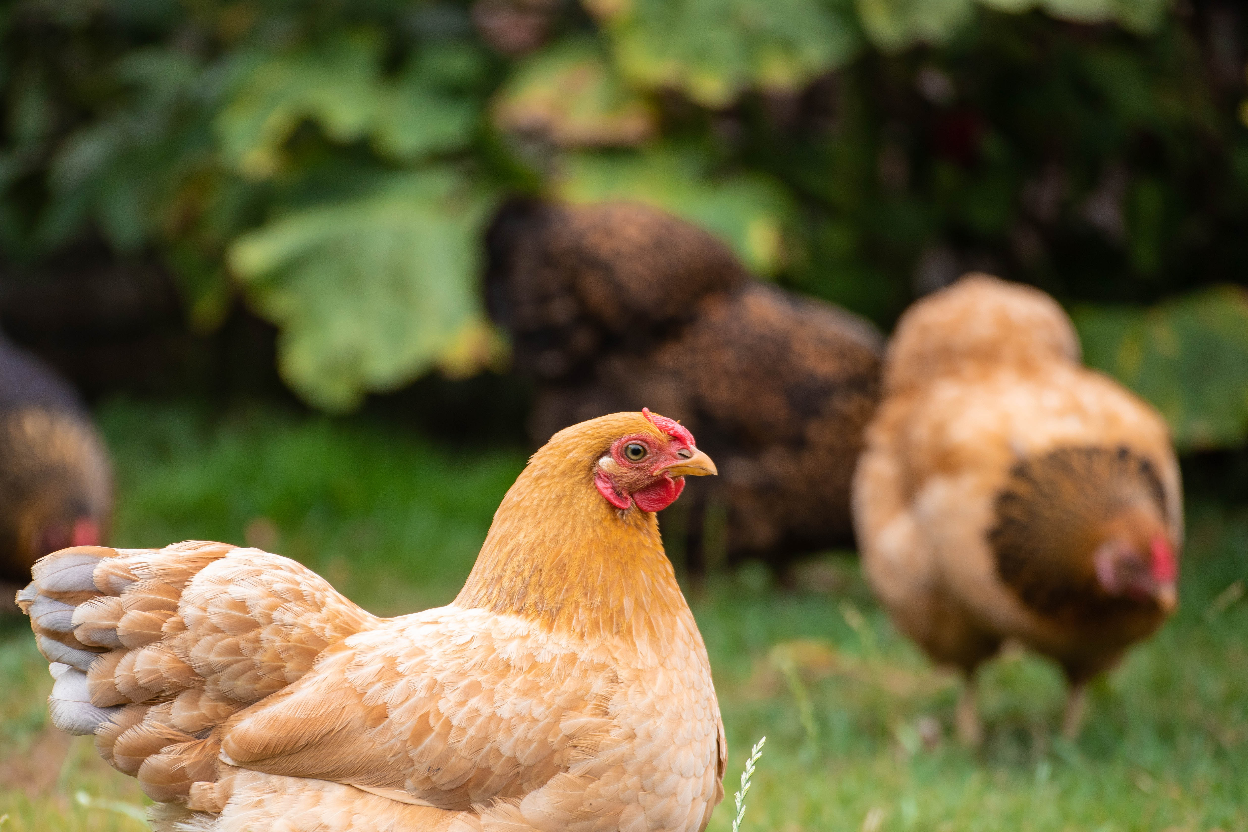 Close-focus image of light brown hens foraging in the grass.