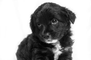 Short-coated black and white puppy; image by Joel J. Martínez, via Unsplash.com.