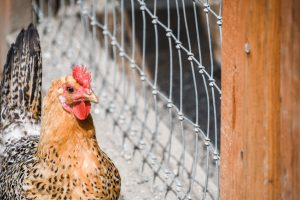 Animal Place Rescues Thousands of Unwanted Chickens