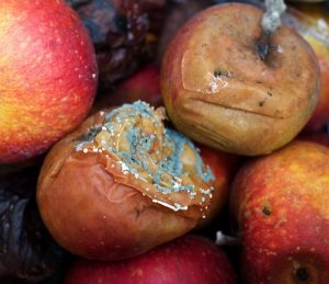Several apples showing signs of rot.