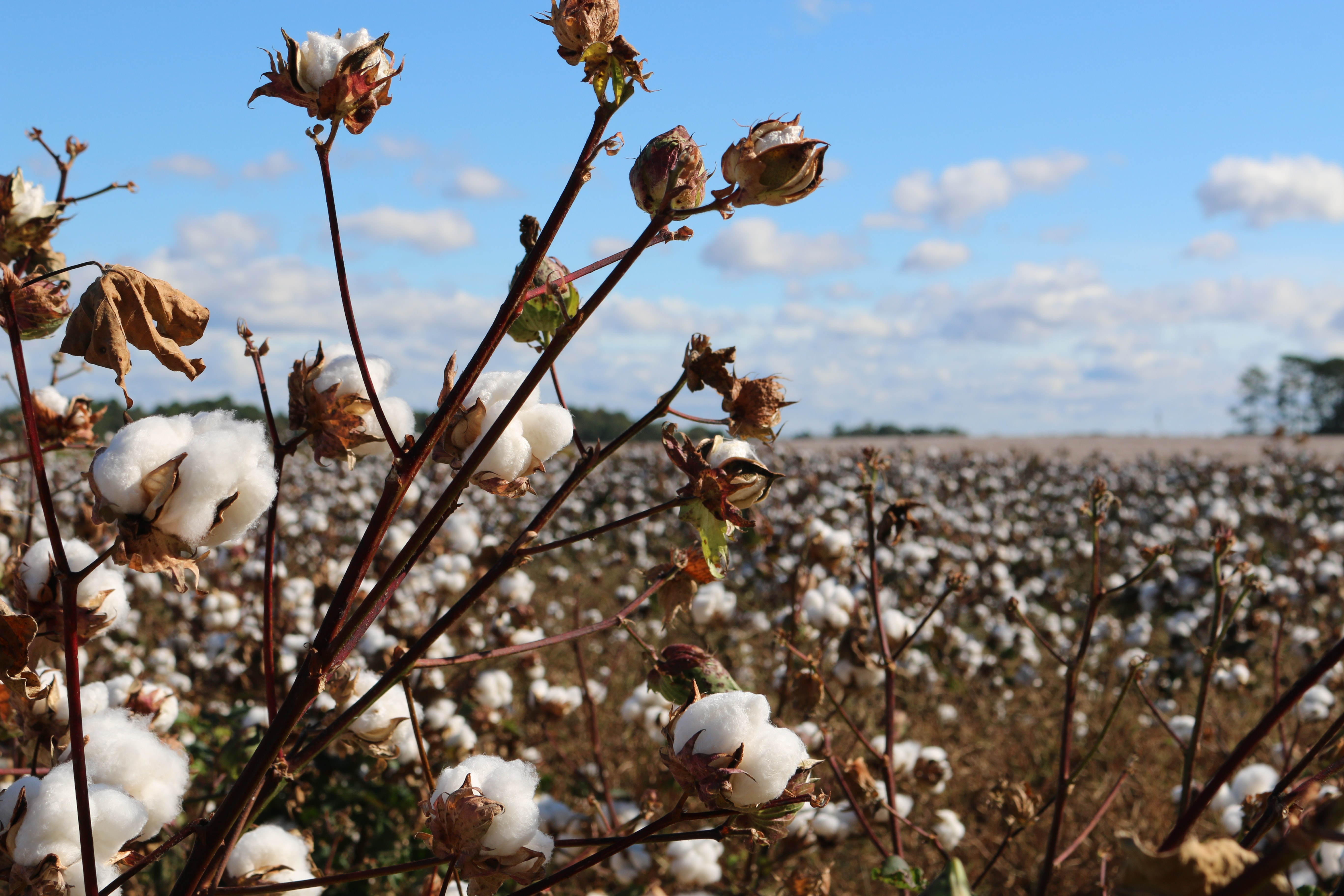 Court Rules Dicamba is too Damaging to Warrant Approval
