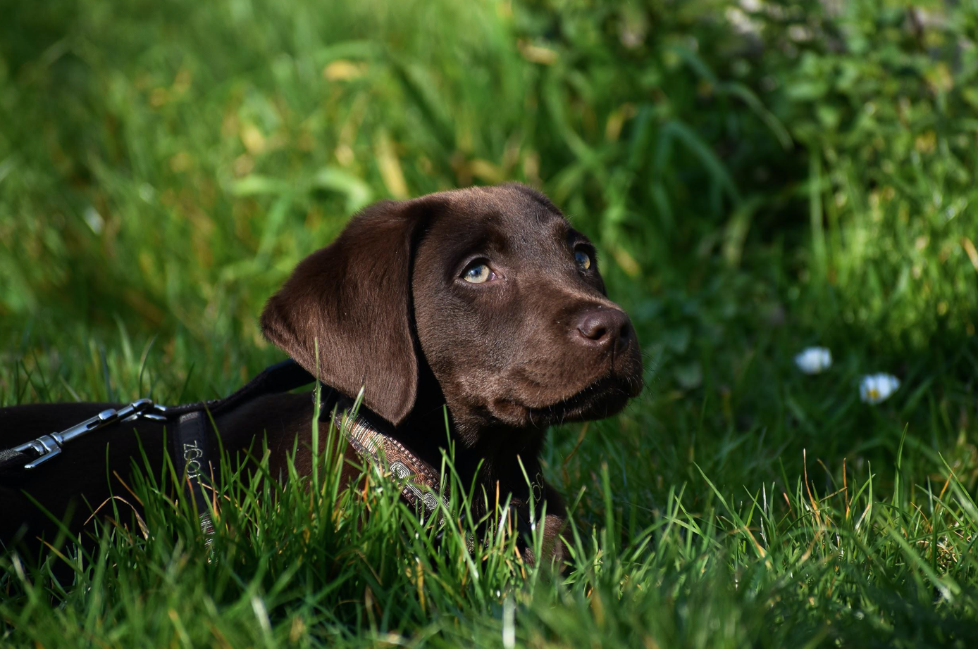 Chocolate Labrador; image by Nick & Djalila, via Unsplash.com.