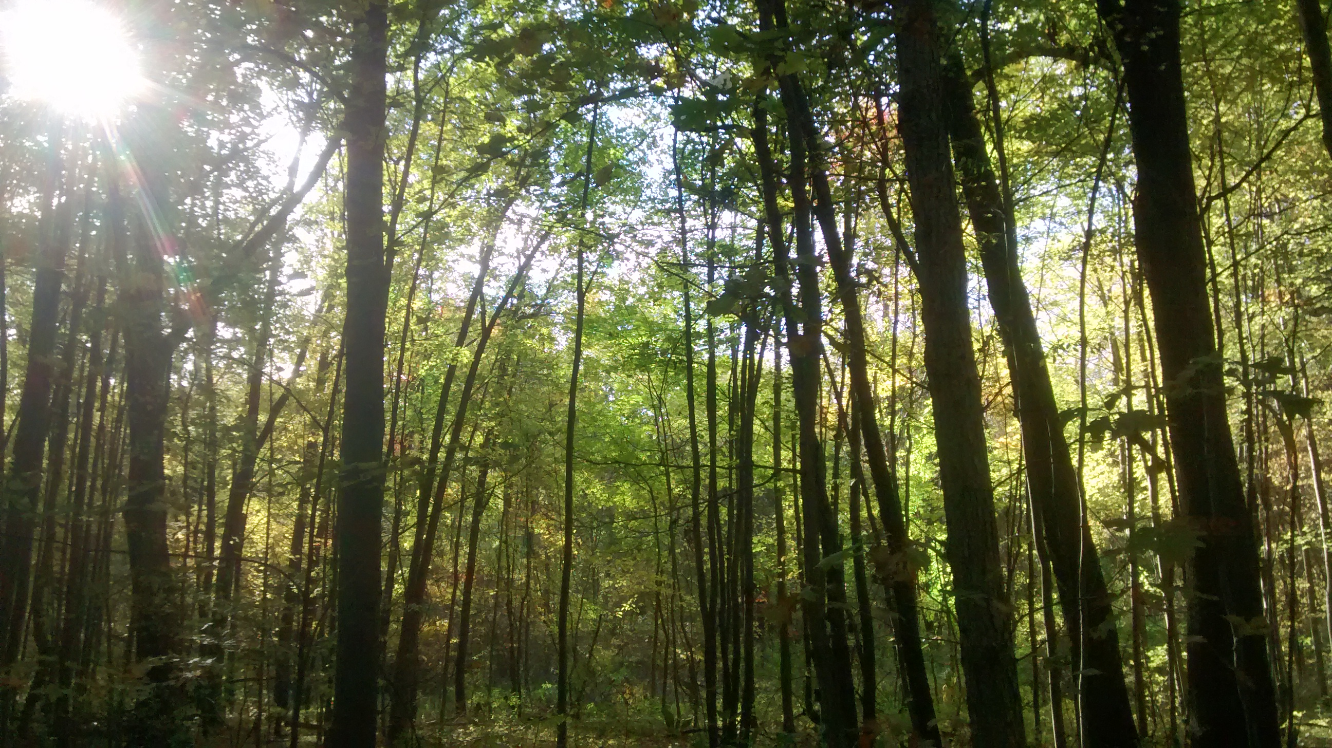 The sun shines dimly through thick woods with tall trees covered in foliage.