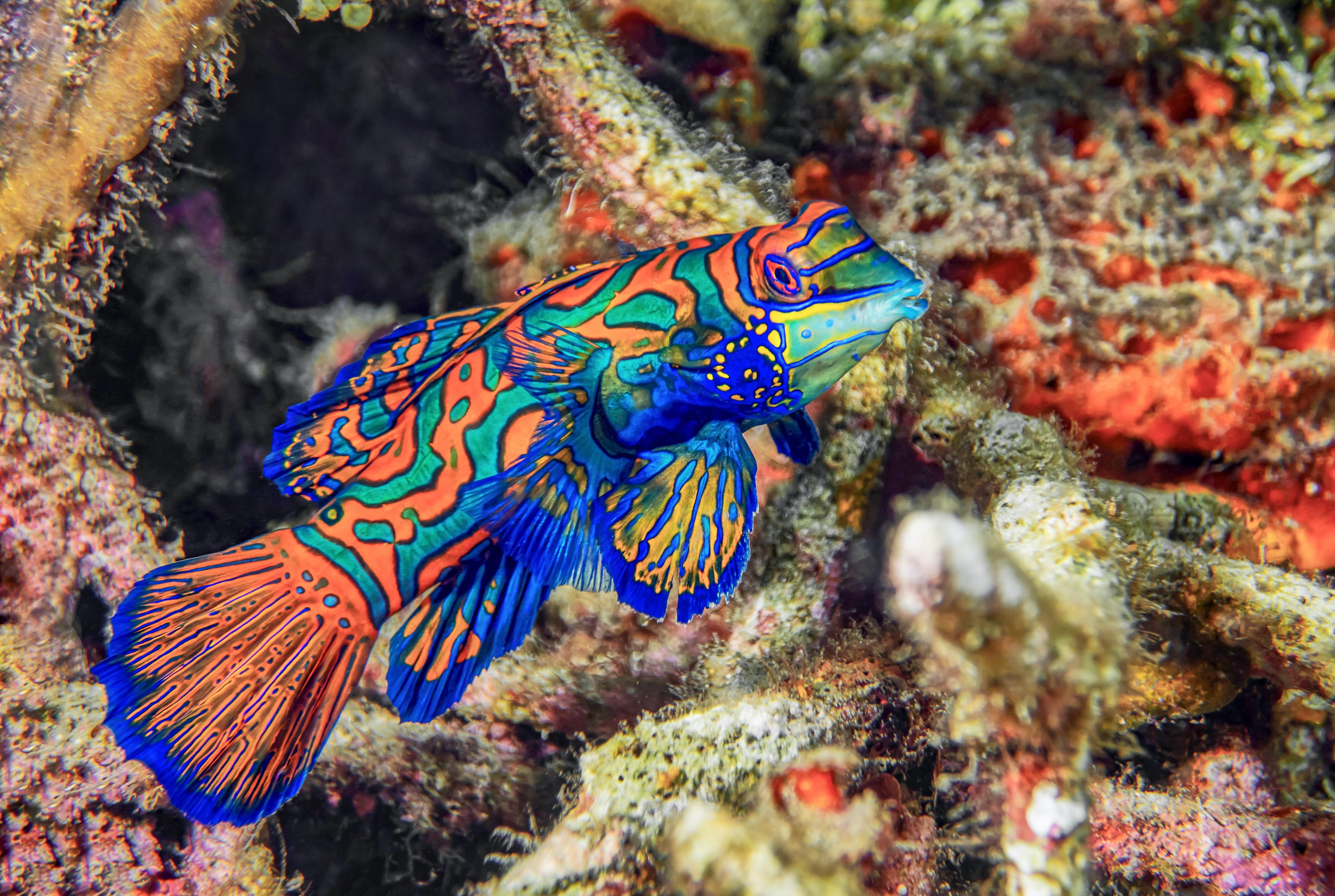 Mandarin Fish at Lembeh Strait, Diving Resort, Indonesien; image by Dorothea OLDANI, via Unsplash.com.