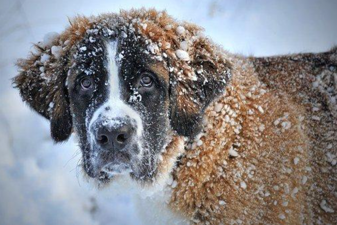 Saint Bernard in the snow; image by Claudia Wollesen, via Pixabay.com.