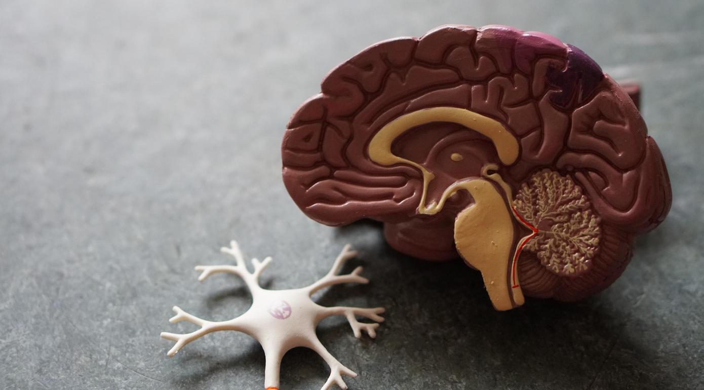 Plastic model of human brain and a neuron; image by Robina Weermeijer, via Unsplash.com.